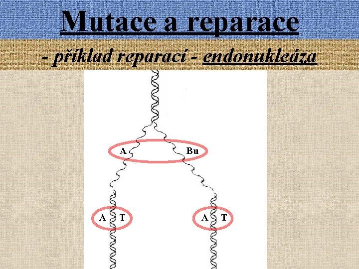Mutace a reparace - příklad reparací - endonukleáza A A T Bu A T