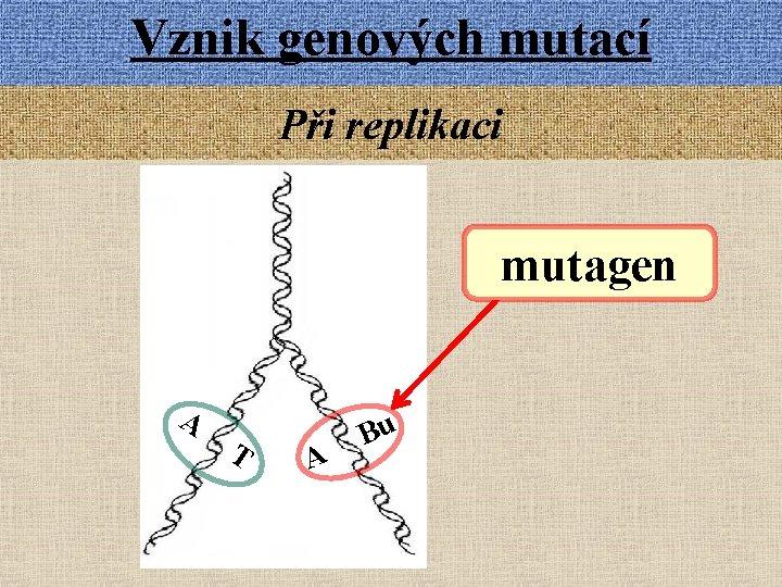 Vznik genových mutací Při replikaci mutagen A T A Bu