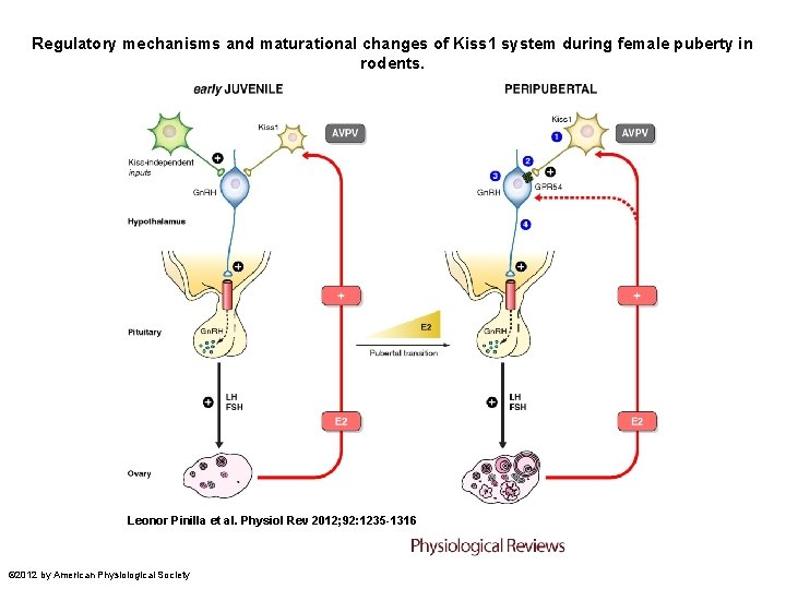 Regulatory mechanisms and maturational changes of Kiss 1 system during female puberty in rodents.