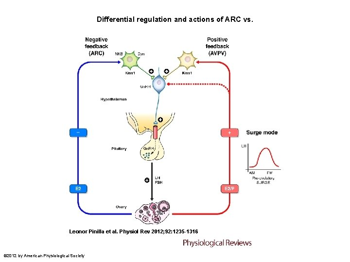 Differential regulation and actions of ARC vs. Leonor Pinilla et al. Physiol Rev 2012;
