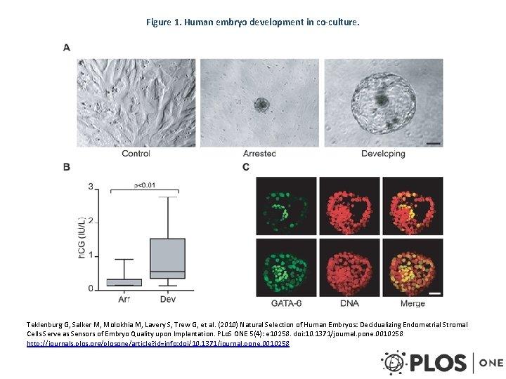 Figure 1. Human embryo development in co-culture. Teklenburg G, Salker M, Molokhia M, Lavery