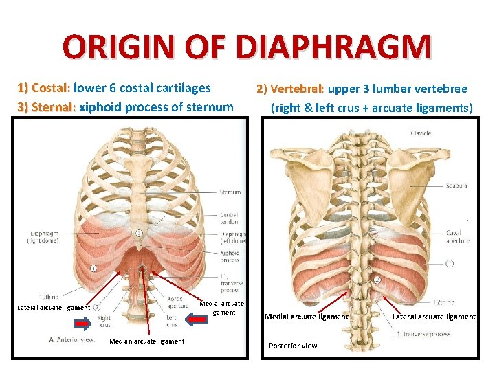 ORIGIN OF DIAPHRAGM 1) Costal: lower 6 costal cartilages 3) Sternal: xiphoid process of