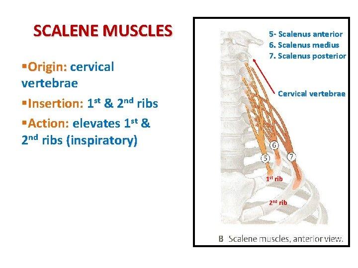 SCALENE MUSCLES §Origin: cervical vertebrae §Insertion: 1 st & 2 nd ribs §Action: elevates