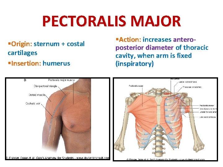 PECTORALIS MAJOR §Origin: sternum + costal cartilages §Insertion: humerus §Action: increases anteroposterior diameter of