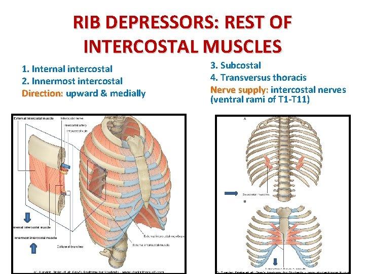 RIB DEPRESSORS: REST OF INTERCOSTAL MUSCLES 1. Internal intercostal 2. Innermost intercostal Direction: upward