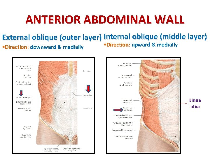 ANTERIOR ABDOMINAL WALL External oblique (outer layer) Internal oblique (middle layer) §Direction: downward &