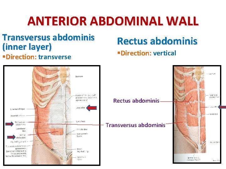 ANTERIOR ABDOMINAL WALL Transversus abdominis (inner layer) §Direction: transverse Rectus abdominis §Direction: vertical Rectus