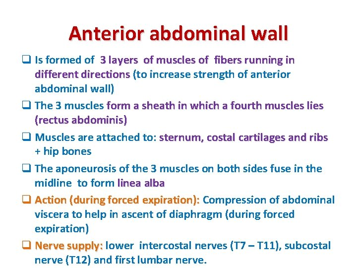 Anterior abdominal wall q Is formed of 3 layers of muscles of fibers running