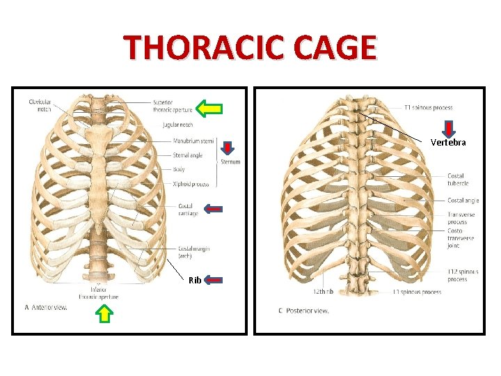 THORACIC CAGE Vertebra Rib