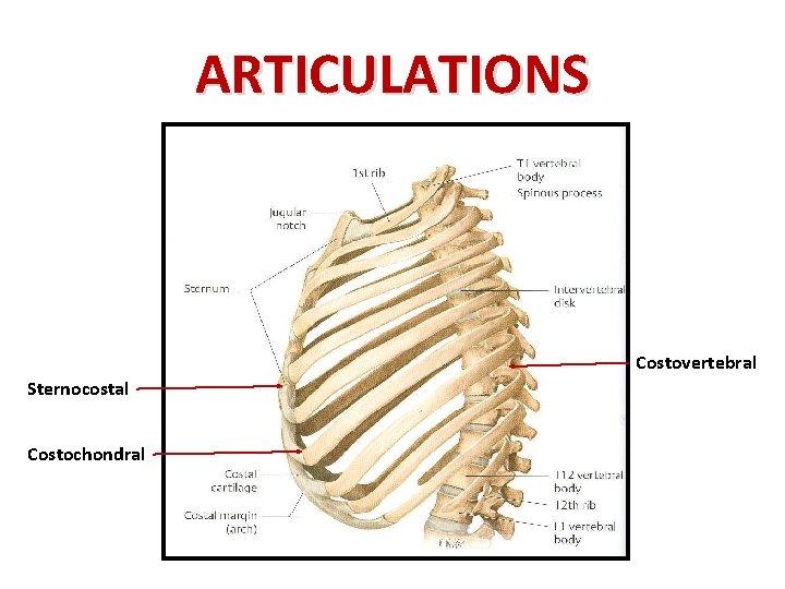 ARTICULATIONS Costovertebral Sternocostal Costochondral
