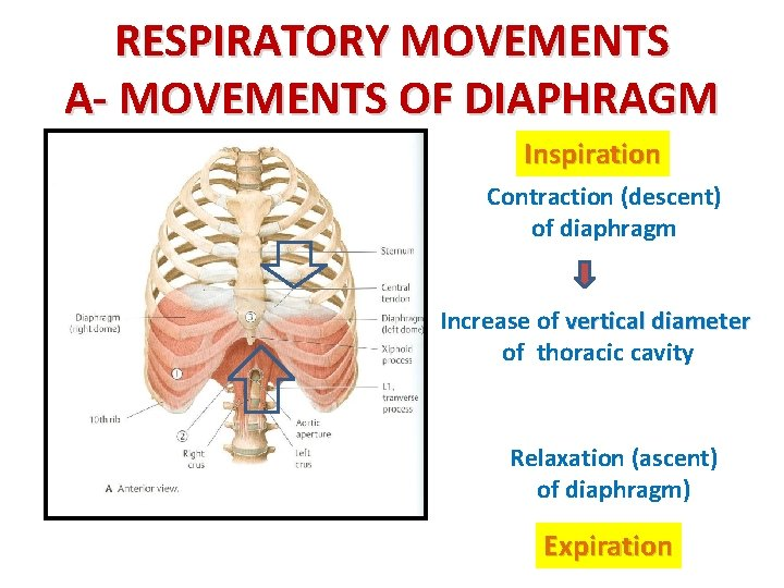 RESPIRATORY MOVEMENTS A- MOVEMENTS OF DIAPHRAGM Inspiration Contraction (descent) of diaphragm Increase of vertical