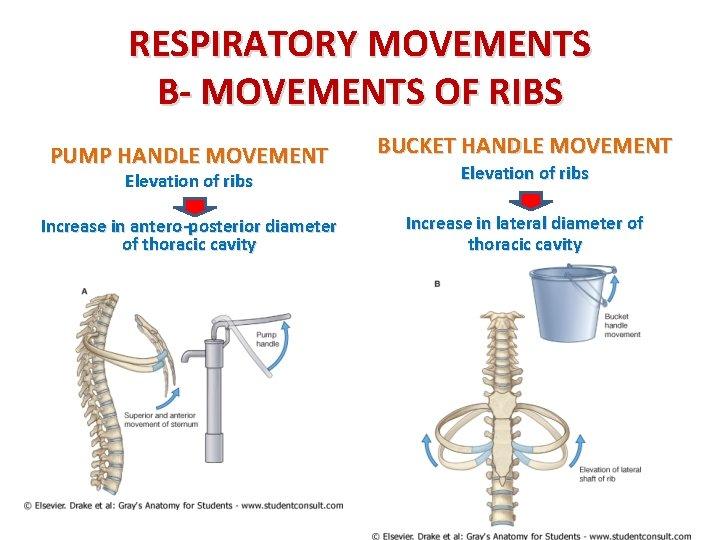 RESPIRATORY MOVEMENTS B- MOVEMENTS OF RIBS PUMP HANDLE MOVEMENT BUCKET HANDLE MOVEMENT Elevation of