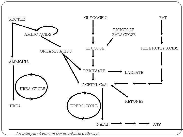 GLYCOGEN PROTEIN FAT FRUCTOSE GALACTOSE AMINO ACIDS ORGANIC ACIDS GLUCOSE FREE FATTY ACIDS AMMONIA