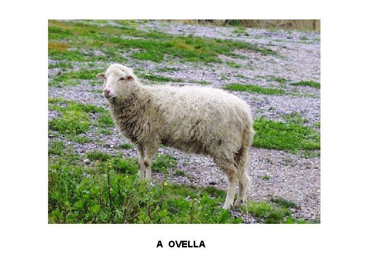 A OVELLA