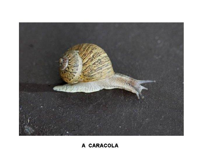A CARACOLA