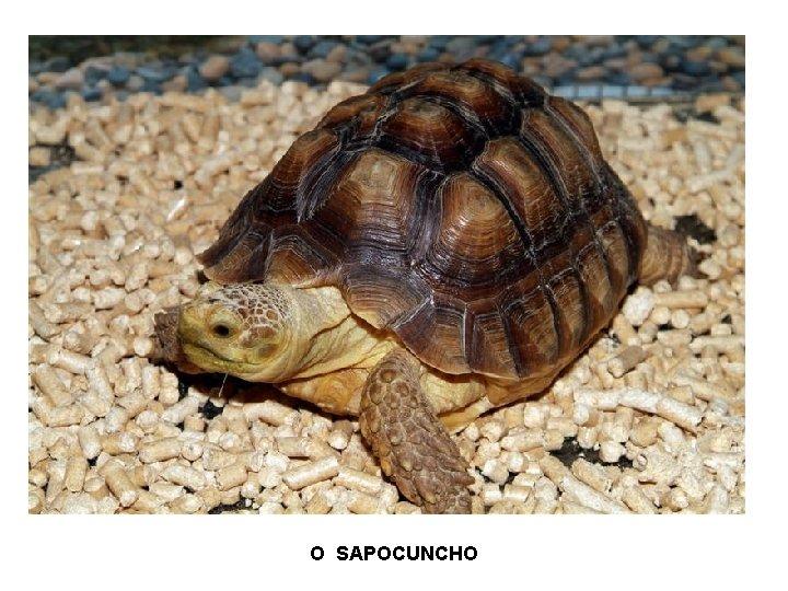 O SAPOCUNCHO
