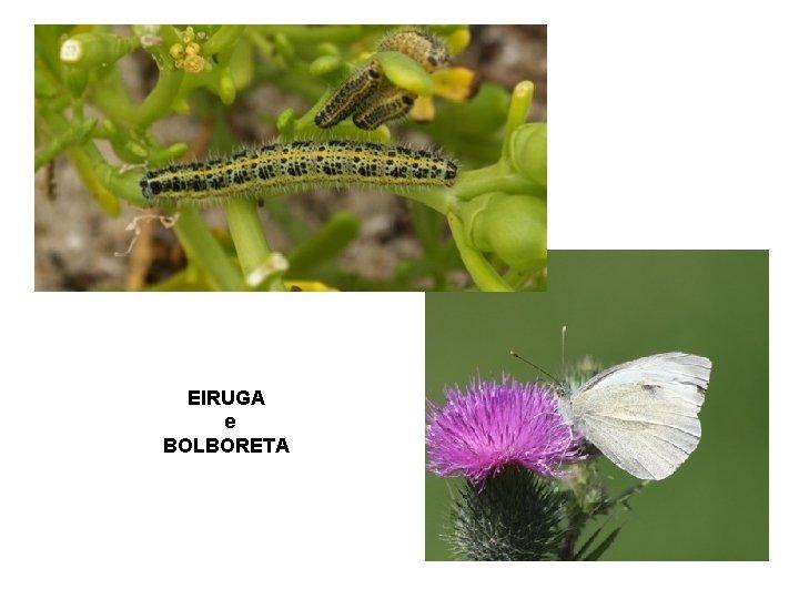 EIRUGA e BOLBORETA