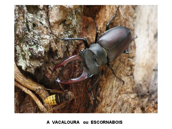 A VACALOURA ou ESCORNABOIS