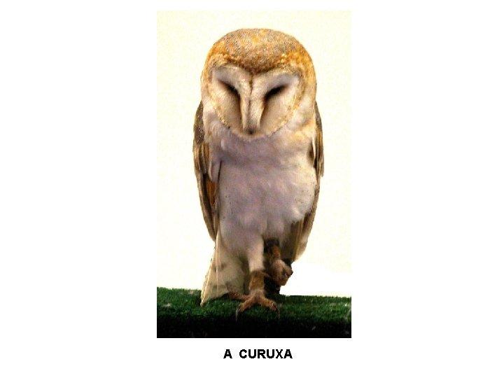 A CURUXA