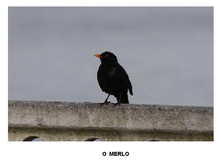 O MERLO