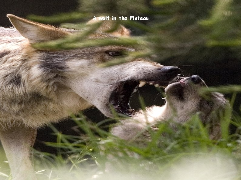 A wolf in the Plateau