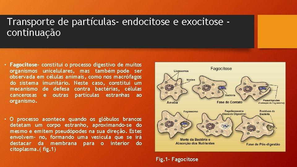 Transporte de partículas- endocitose e exocitose continuação • Fagocitose- constitui o processo digestivo de