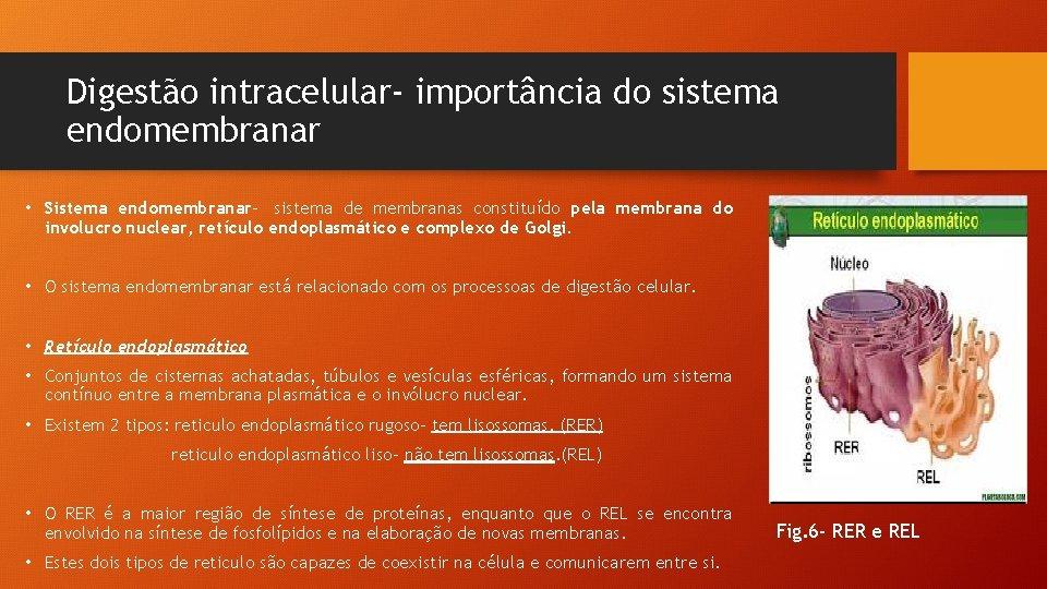 Digestão intracelular- importância do sistema endomembranar • Sistema endomembranar- sistema de membranas constituído pela