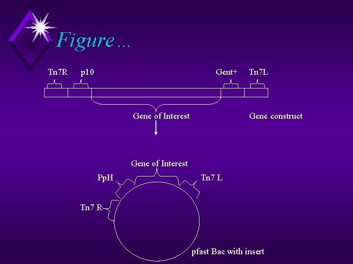 Figure… Tn 7 R p 10 Gent+ Gene of Interest Tn 7 L Gene