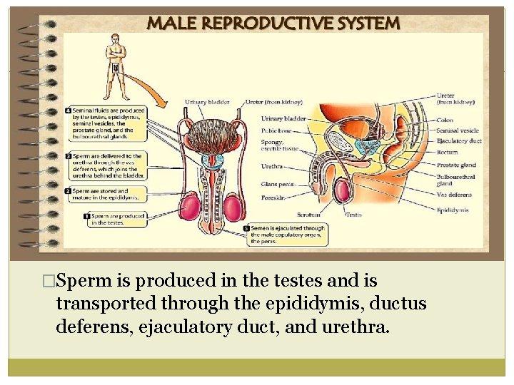 A prostatitis vezet