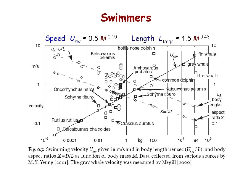 Swimmers Speed Usw ≈ 0. 5 M 0. 19 Length L large ≈ 1.
