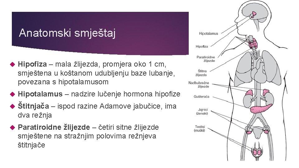 Anatomski smještaj Hipofiza – mala žlijezda, promjera oko 1 cm, smještena u koštanom udubljenju