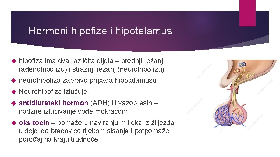 Hormoni hipofize i hipotalamus hipofiza ima dva različita dijela – prednji režanj (adenohipofizu) i