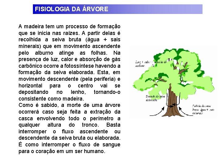 FISIOLOGIA DA ÁRVORE A madeira tem um processo de formação que se inicia nas