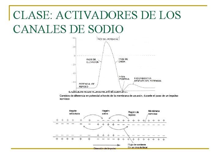 CLASE: ACTIVADORES DE LOS CANALES DE SODIO
