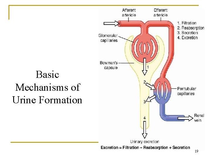Basic Mechanisms of Urine Formation 19