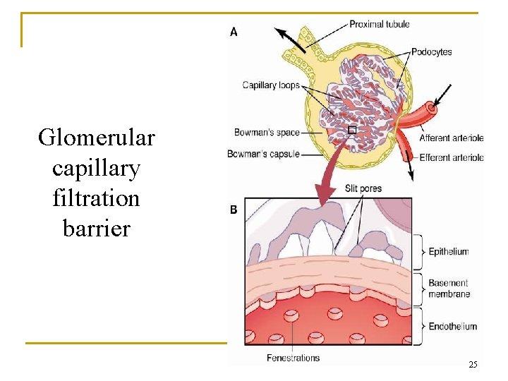 Glomerular capillary filtration barrier 25
