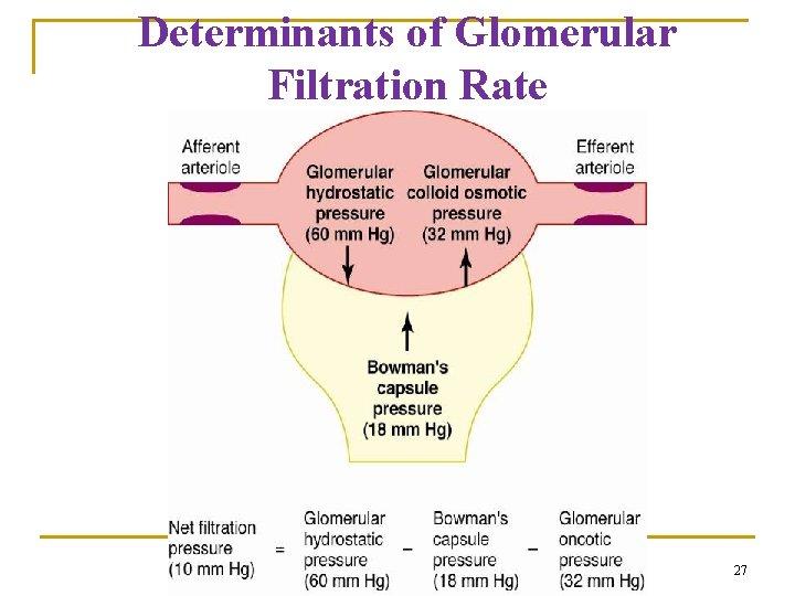 Determinants of Glomerular Filtration Rate 27