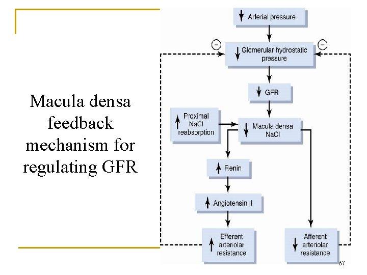 Macula densa feedback mechanism for regulating GFR 67