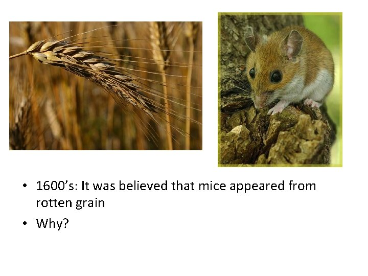 • 1600's: It was believed that mice appeared from rotten grain • Why?