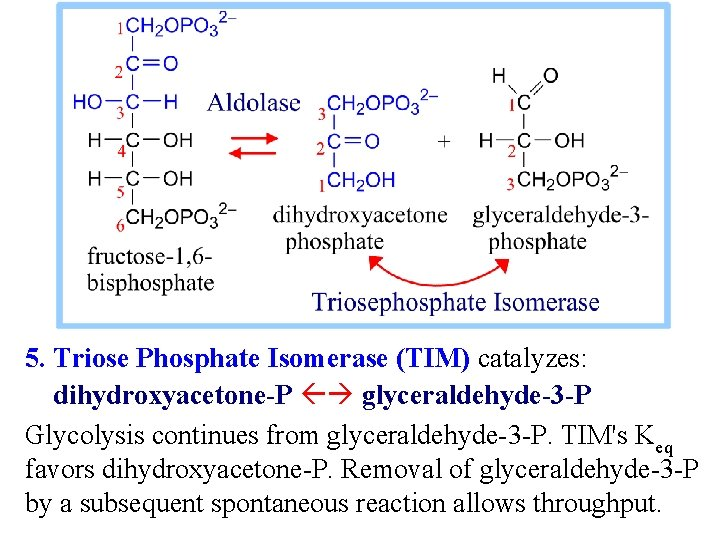 5. Triose Phosphate Isomerase (TIM) catalyzes: dihydroxyacetone-P glyceraldehyde-3 -P Glycolysis continues from glyceraldehyde-3 -P.