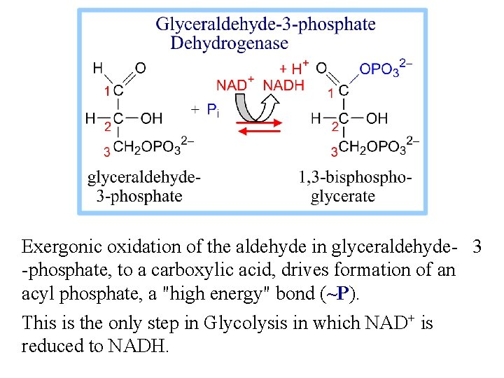 Exergonic oxidation of the aldehyde in glyceraldehyde- 3 -phosphate, to a carboxylic acid, drives