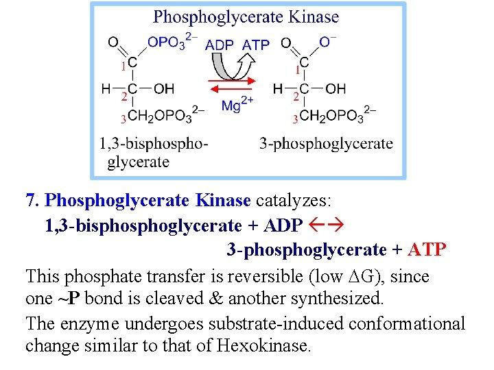 7. Phosphoglycerate Kinase catalyzes: 1, 3 -bisphoglycerate + ADP 3 -phosphoglycerate + ATP This