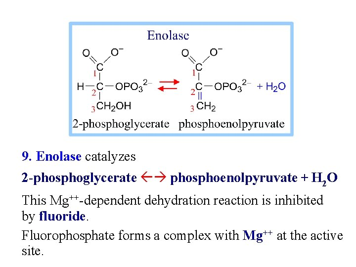 9. Enolase catalyzes 2 -phosphoglycerate phosphoenolpyruvate + H 2 O This Mg++-dependent dehydration reaction