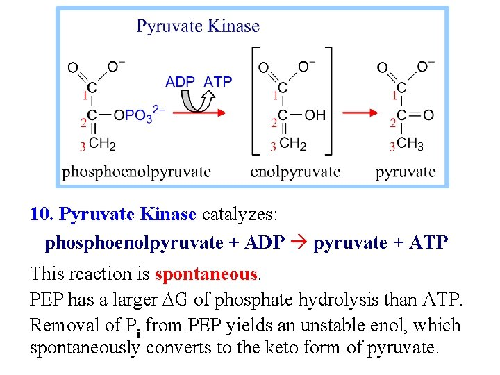 10. Pyruvate Kinase catalyzes: phosphoenolpyruvate + ADP pyruvate + ATP This reaction is spontaneous.