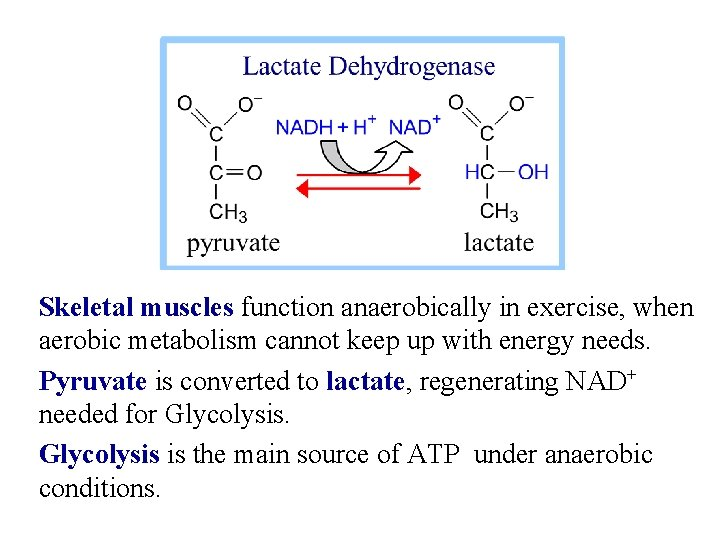 Skeletal muscles function anaerobically in exercise, when aerobic metabolism cannot keep up with energy