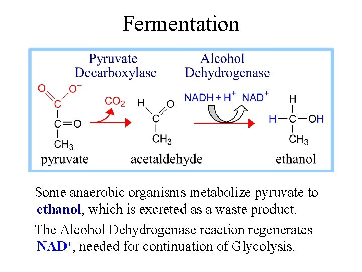 Fermentation Some anaerobic organisms metabolize pyruvate to ethanol, which is excreted as a waste