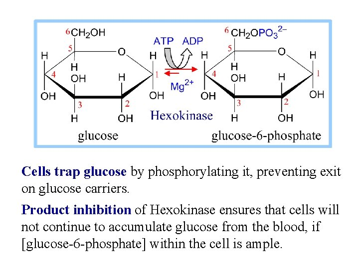 Cells trap glucose by phosphorylating it, preventing exit on glucose carriers. Product inhibition of