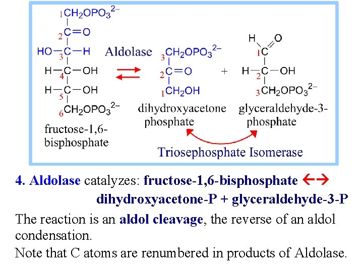 4. Aldolase catalyzes: fructose-1, 6 -bisphosphate dihydroxyacetone-P + glyceraldehyde-3 -P The reaction is an