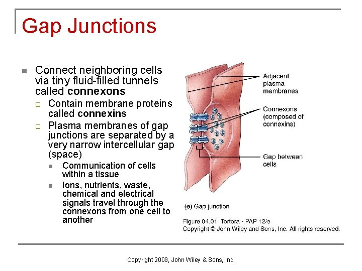 Gap Junctions n Connect neighboring cells via tiny fluid-filled tunnels called connexons q q