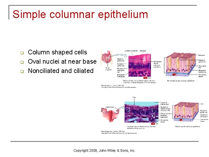 Simple columnar epithelium q q q Column shaped cells Oval nuclei at near base